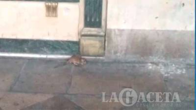 Ratas en la Plaza Mayor